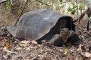 Une espèce de tortue que l'on croyait éteinte réapparaît aux Galapagos