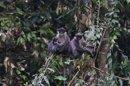 Une espèce rare de primate qu'on pensait éteinte découverte à Bornéo