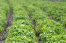 BASF abandonne les OGM en Europe