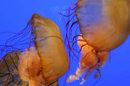 Surabondance de méduses ? Une impression, plus qu'un fait scientifique