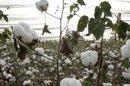 'Aux Etats-Unis, les producteurs de coton OGM sont désemparés'
