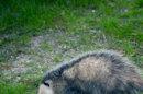La Nouvelle-Zélande en lutte contre un opossum ravageur