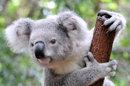 Le koala, une espèce symbolique à protéger du déclin