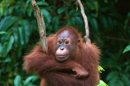 Des femelles orangs-outans prostituées à Bornéo