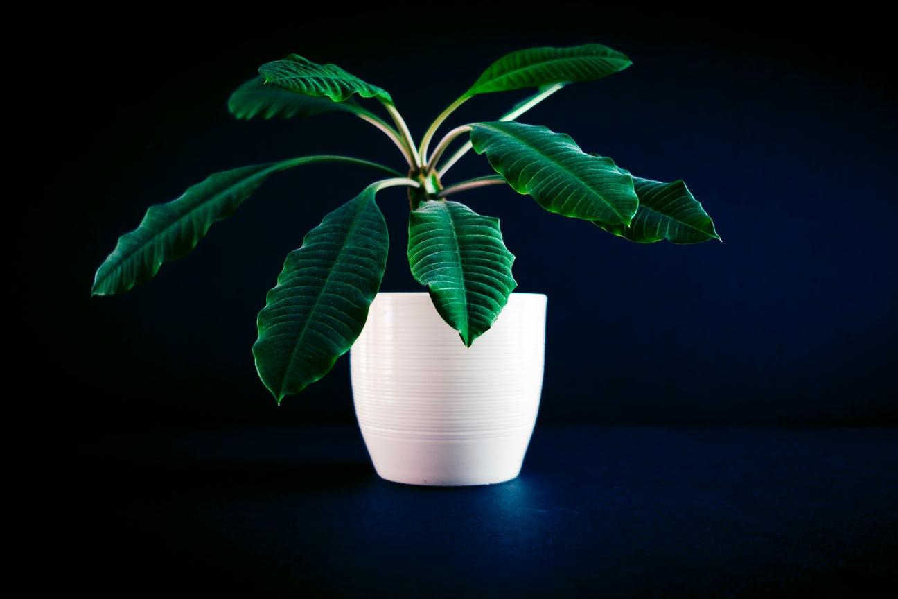 "The Survival Secret of "" Dominant President"" of Plants"